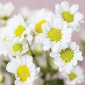 Image of Daisies (New)