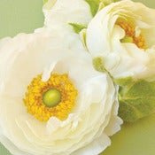 Image of White Ranunculus (New)