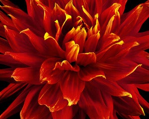 Image of Fire Tip Dahlia #2