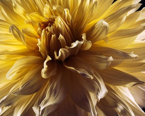 Image of Yellow Dahlia