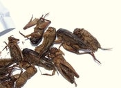 Image of Fried Giant Crickets
