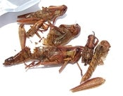 Image of Flying Grasshoppers