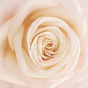 Image of Cream Rose