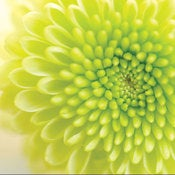 Image of Chrysanthemum