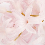 Image of Hyacinth 1 *On Sale*