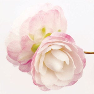 Image of Camellia *On Sale*