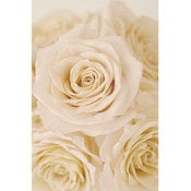 Image of Cream Roses