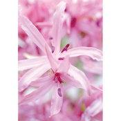 Image of Nerines