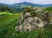 "Image of Photograph, 'California Golden Poppies Growing on a Franciscan Rock Outcropping' 2010; ""SAN SIMEON"""