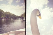 Image of photographic print, swan boats, 6x8&quot;