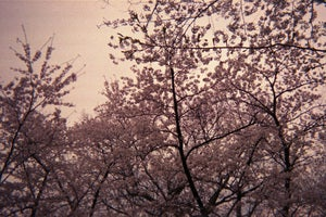 Image of photographic print, cherry blossoms, 6x8&quot;