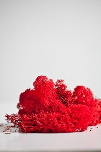 Image of Red Reindeer moss.
