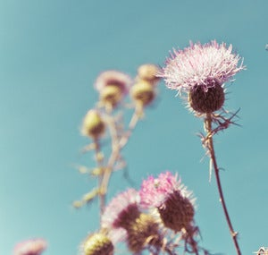Image of thistle.