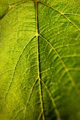 Image of Grape Leaf