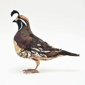 Image of CALIFORNIAN QUAIL