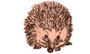 Image of Hedgehog round