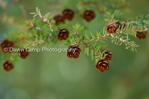 Image of Coniferous Tree 8&quot; x 12&quot; Standout Professionally Printed on Metallic Paper