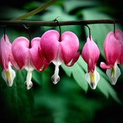 Image of Bleeding Hearts