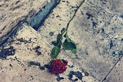 Image of A rose that grew from concrete..