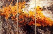 Image of &quot;LONG ISLAND LICHEN&quot; - JOSH FALK
