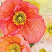 Image of Poppies