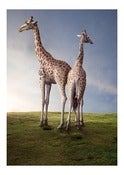Image of Giraffes.