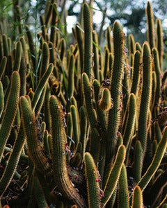 Image of California Cacti - 8x10