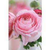 Image of Ranunculus 1 (Large) *NEW*